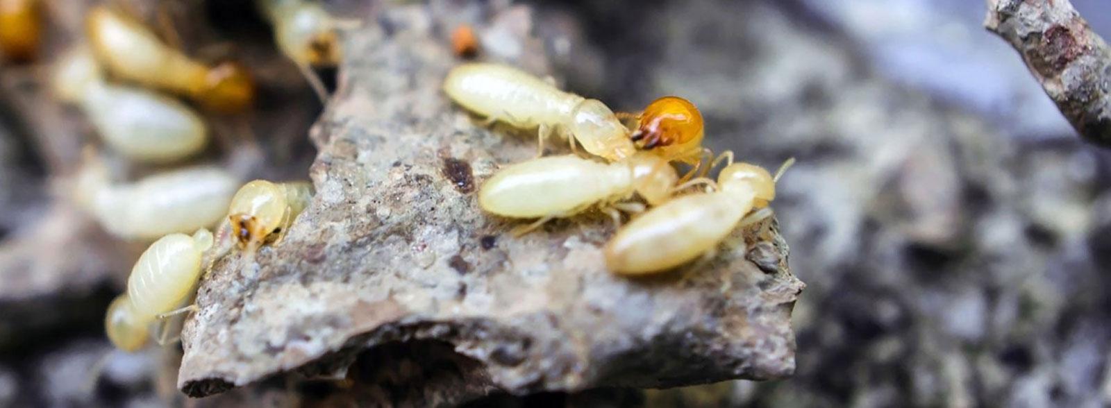 Termites Hero